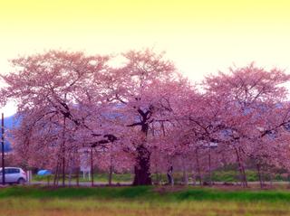 43旭昇桜★s.jpg