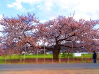 44旭昇桜★.JPG